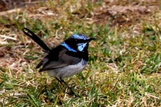 Superb Fairy Wren (Bunya Mountains)