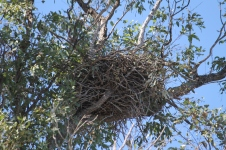 Whistling Kite Nest