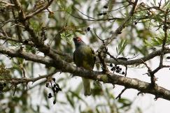 Green Figbird