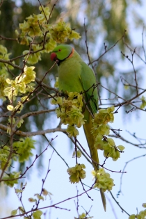 Indian Ring Neck parrot