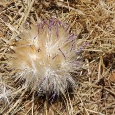 Cowra - Thistle Flower (NSW)