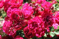Cann River - Roses (Vic)