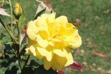 Cann River - Beautiful Rose (VIC)