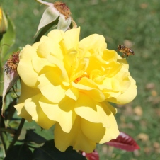 Cann River - Beautiful Rose (VIC)