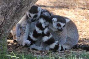 Striped Lemurs - Dubbo Zoo (NSW)