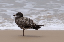 Seaspray Beach - Juvenile Pacific Gull (Vic)