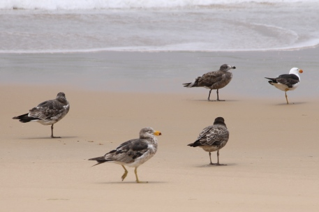Seaspray Beach - Pacific Gulls (Vic)