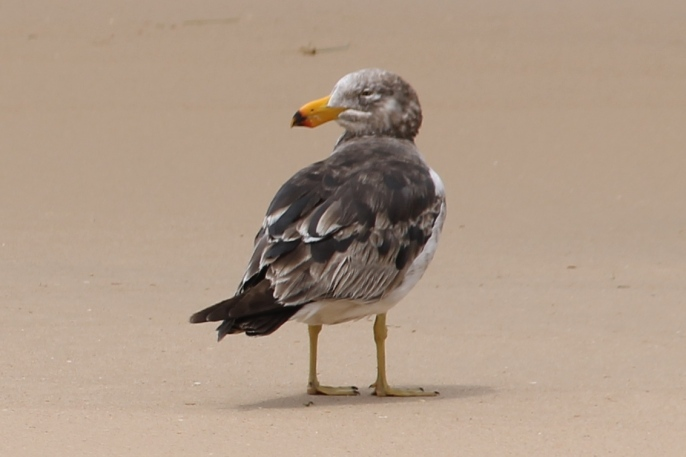 Seaspray Beach - Immature Pacific Gull (Vic)