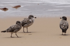 Seaspray Beach - Juvenile Pacific Gulls (Vic)
