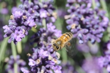 Bright - Ringer Reef Winery Bee (Vic)