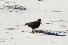 Wilsons Prom - Sooty Oystercatcher (Vic)