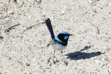 Wilsons Prom - Superb Fairywren (Vic)