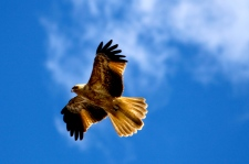 Lake Wivenhoe - Whistling Kite (QLD)