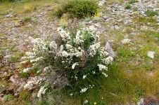 Victorian High Country - 'Flowers 2' (Vic)