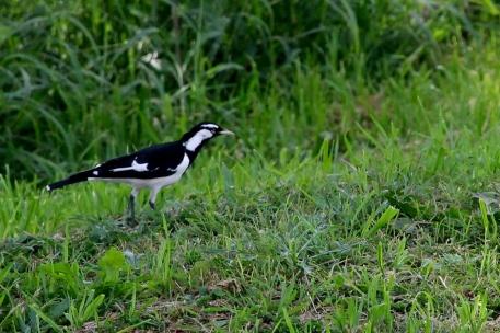 Australian Magpie-lark (Neil Turner Weir, Mitchell)
