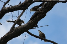 Grey-crowned Babblers (Neil Turner Weir, Mitchell)