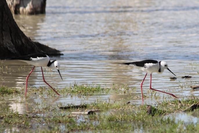 Lara Wetlands - Black-winged Stilts (Qld)