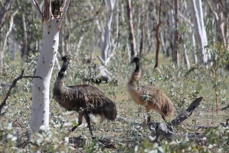 Lara Wetlands - Emus (Qld)