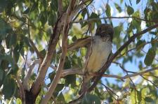 Lara Wetlands - Spotted Bowerbird (Qld)