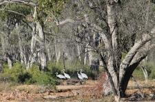 Lara Wetlands - Brolgas (Qld)