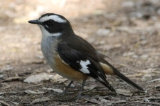 White-browed Robin (Qld)