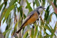 Rufous Whistler (Qld)