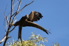 Black Kite (Qld)