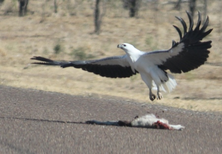 White-bellied Sea-Eagle (Qld)