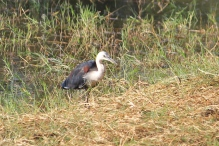 Camooweal - Pacific Heron Nowranie Waterhole (Qld)