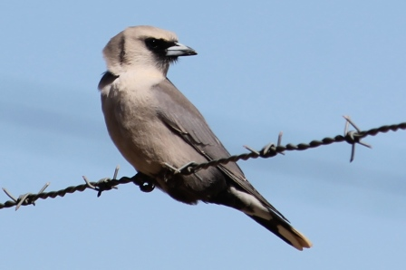 Black-faced Woodswallow - Camooweal (Qld)