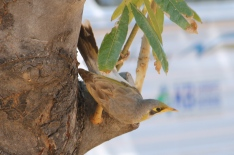 Yellow-throated Miner - Camooweal (Qld)