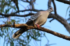 Crested Pigeon - Cape Crawford Area (NT)