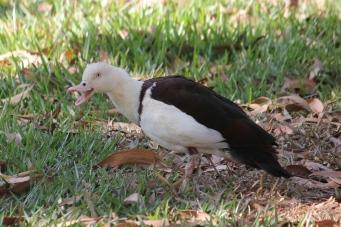 Radjah Shelduck - Berry Springs, Darwin (NT)