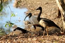 Immature Magpie Goose, Sacred Ibis, Radjah Shelducks - Berry Springs, Darwin (NT)