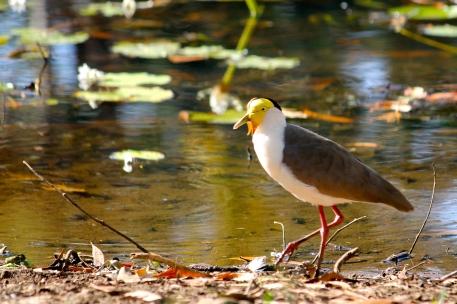 Masked Lapwing - Berry Springs, Darwin (NT)