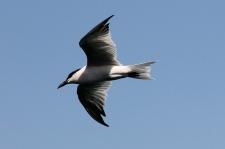 Gull-billed Tern - Darwin Waterfront (NT)