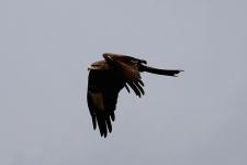 Black Kite - Darwin Waterfront (NT)