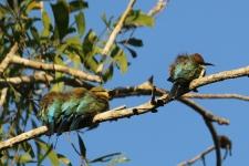 Rainbow Bee Eaters - Berry Springs, Darwin (NT)