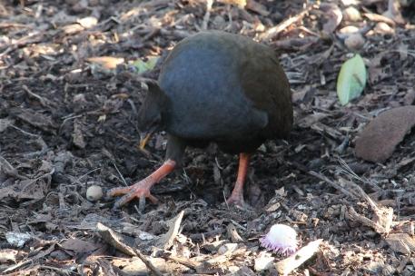 Orange-footed Scrubfowl - Darwin Botanical Gardens - (NT)