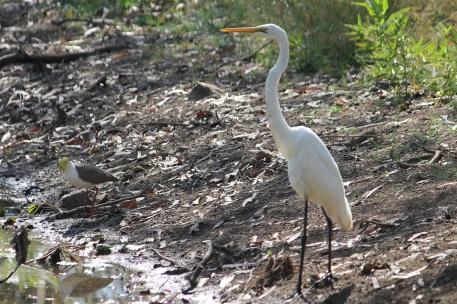 Great Egret - Berry Springs, Darwin (NT)
