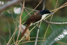 Shining Flycatcher (Female) - Cascades, Litchfield NP (NT)