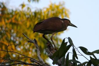 Rufous (Nankeen) Night Heron - Berry Springs (NT)
