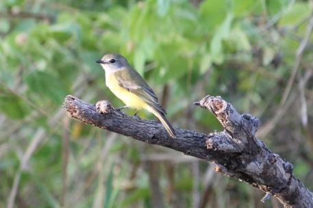 Lemon-bellied Flycatcher - Berry Springs (NT)