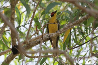 Figbird - Berry Springs (NT)
