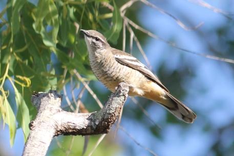 Varied Triller (Female) - Berry Springs (NT)
