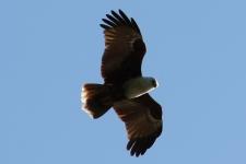 Brahminy Kite - Berry Springs (NT)