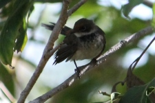 Northern Fantail - Berry Springs (NT)