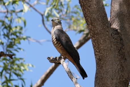 Pacific Baza - Berry Springs (NT)