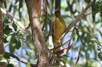Yellow Oriole - Berry Springs (NT)