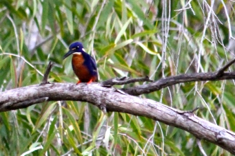 Azure Kingfisher (Qld)